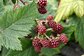 Rubus canadensis (3813766870).jpg