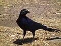 Rueppell's Glossy-starling in Tanzania 2941 Nevit.jpg