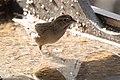 Rufous-crowned Sparrow Santa Rita Lodge Madera Canyon AZ 2018-02-17 15-58-18 (40540487602).jpg