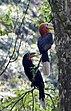 Rufous-necked Hornbill, Aceros nipalensis (2634899865).jpg