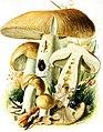 Russula-foetens-gramberg-1913-pilzederheimatei00gram 0071.jpg