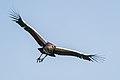 Südafrika-Kronenkranich Jungtier im Flug 2014.jpg