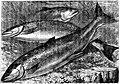 SFR b+w - salmon.jpg