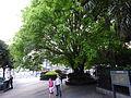 SZ 深圳 Shenzhen Luohu district Shennan East Road green tree April 2016 DSC.JPG