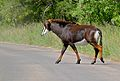 Sable (Hippotragus niger) female crossing the road ... (16635641913).jpg