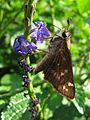 Sachem Sipping Nectar - Flickr - treegrow.jpg
