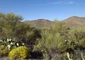 Saguaro Cactus near Tucson, Arizona LCCN2010630877.tif