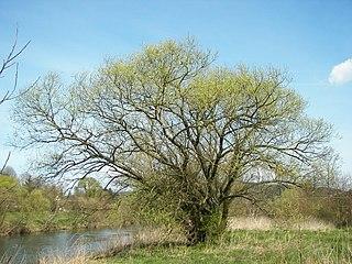 Vŕba biela (lat. Salix alba)