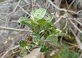 Salix lapponum kz02.jpg