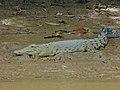 Saltwater Crocodile (Crocodylus porosus) (8067323629).jpg