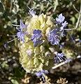 Salvia dorrii 13.jpg