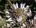 Salvia mellifera 2003-04-07.jpg