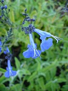 List Of Salvia Species Wikipedia
