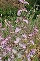 Salvia sclarea kz04.jpg