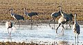 Sandhill cranes staging at Muscatatuck NWR (6366881461).jpg