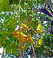Sausage tree flower green A01.jpg