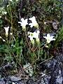 Saxifraga granulata FlowerCloseup 2009March19 SierraMadrona.jpg