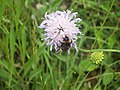 Scabious with Bee - geograph.org.uk - 500648.jpg