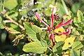 Schiermonnikoog - Wilde kamperfoelie (Lonicera periclymenum) v3.jpg
