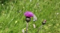 File:Schmetterling. Бабочки.2H1A0076.webm