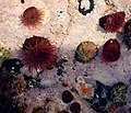 Sea anemones - geograph.org.uk - 270836.jpg