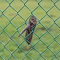 Sectioned portion of a branch grown around a chain-link fence.jpg