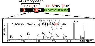 Securin - Figure 2: Five identified phosphorylation sites on securin