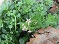 Sedum cepaea inflorescence (02).jpg
