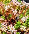 Sedum sp. flowers.jpg