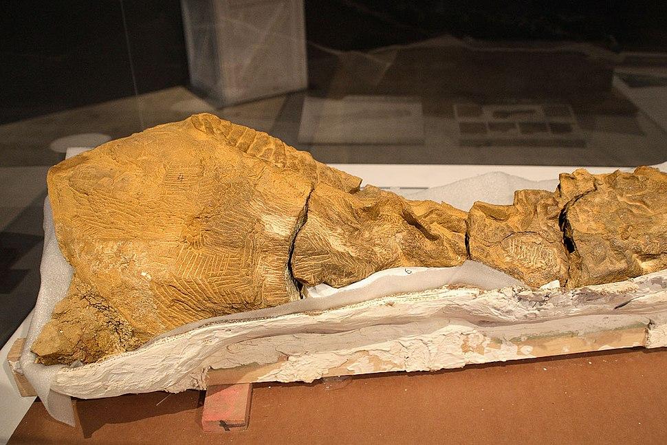 Segment of Dakota fossil