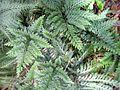Selaginella de Guadeloupe.jpg