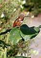 Selasphorus rufus -San Juan Capistrano, California, USA-8.jpg