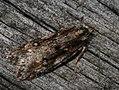 Semioscopis oculella (26985931628).jpg