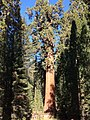 Sequoia Tree2.jpg