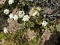 Seseli libanotis (Libanotis montana) (15472574985).jpg