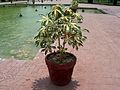 Shalamar Garden July 14 2005-A plant on the first level.jpg