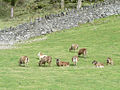 Sheep - Flickr - KHoffmanDC.jpg