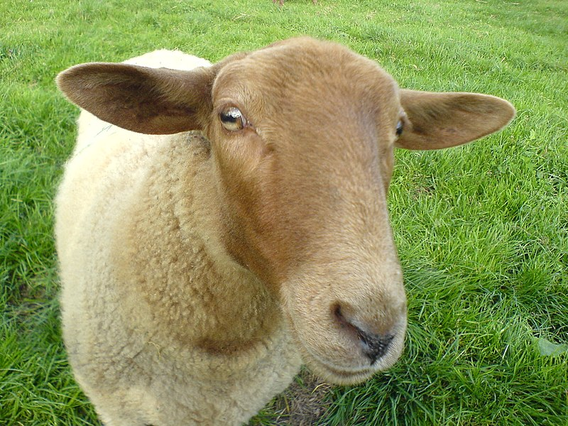 Fichier:Sheep Shaf Mouton.JPG