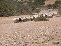 Sheep and goats at Kalandos Naxos Greece DSCN1142.jpg