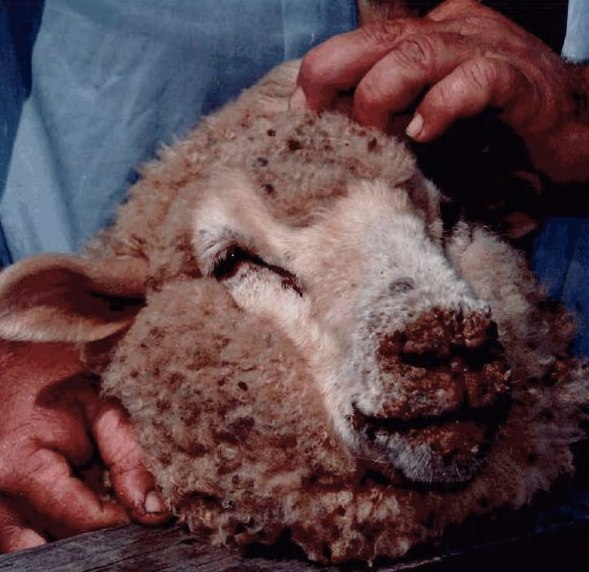 Sheep with orf