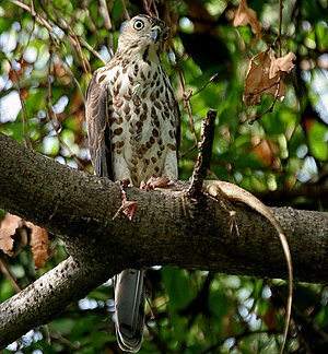 Accipiter - Shikra (A. badius) with a garden lizard (Calotes sp.) in Hyderabad, India