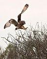 Short-eared Owl (50908759683).jpg