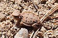 Short-horned lizard Phrynosoma hernandesi (7914871288).jpg