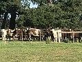 Shorthorn bull & heifers 1.jpg