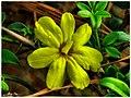 Shrub Flower - Flickr - pinemikey.jpg