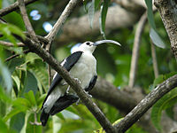 Sickle-billed Vanga, Ankarafantsika National Park, Madagascar