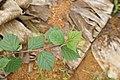 Sida rhombifolia 9756.jpg