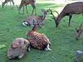Sika Deer, Nara Park 01.jpg