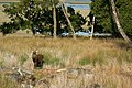 Sika stag near Arne Bay - geograph.org.uk - 1772438.jpg