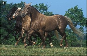 Silver dapple gene - The front two Rocky Mountain Horses have the silver dapple dilution.